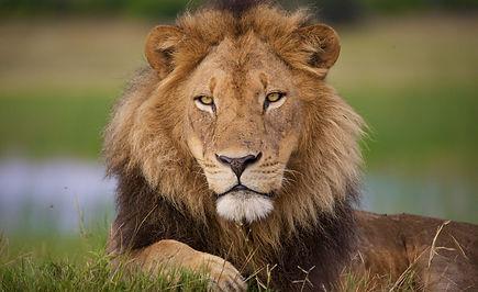 Lion (3).jpg