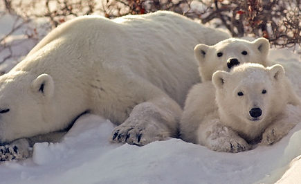 Polar Bear With Her Cubs_edited.jpg