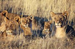 Pride Of Lions Resting At Etosha Nationa