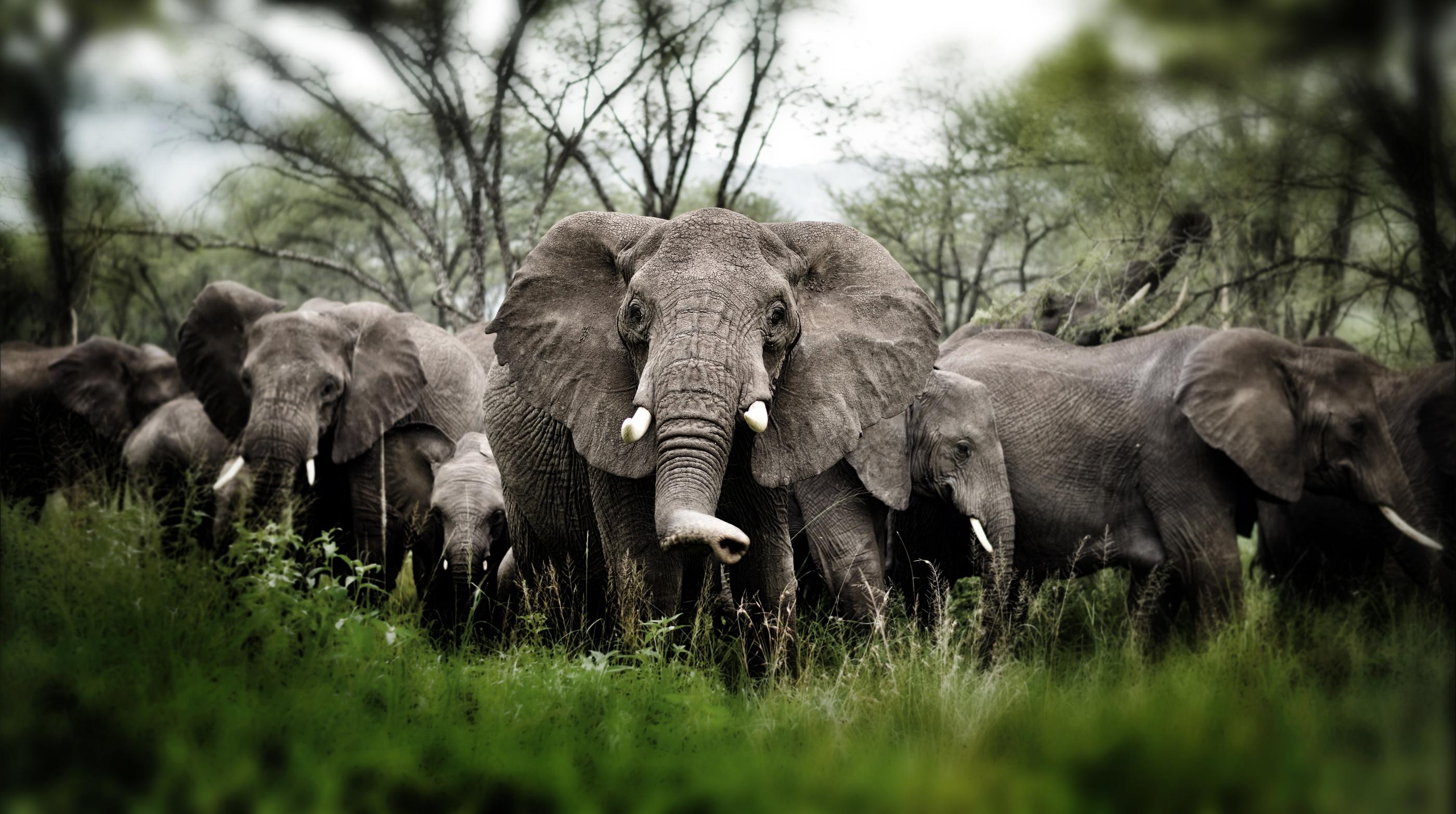 Herd of Elephants , Serengeti natural pa
