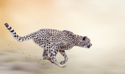 Cheetah  Running on Soft Focus Backgroun