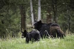 black-bears-1972307_1920