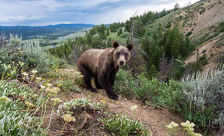 grizzly-bear-lottery.adapt.676.1.jpg