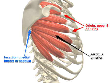 A quick look at the Serratus muscle.