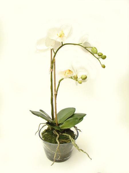Arranjo Phalaenopsia