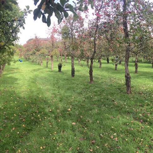 Orchard in Devon