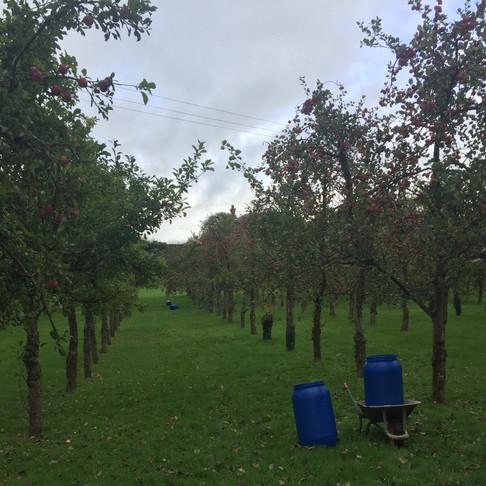 Devon orchard