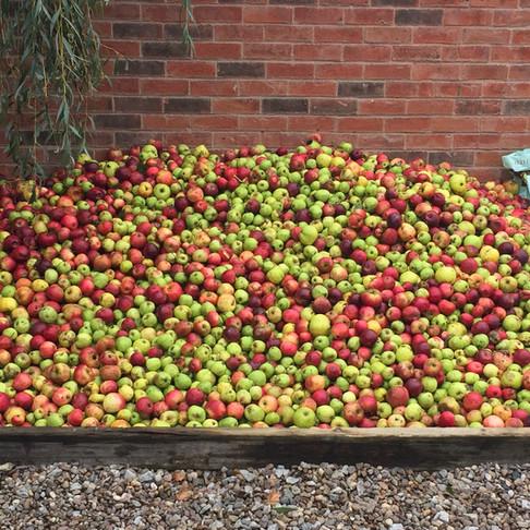 Apples awaiting pressing