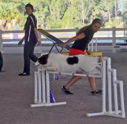 Dog agility handling