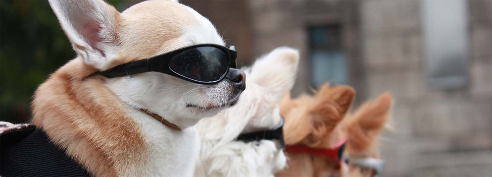 Dogs in sunglasses.jpg