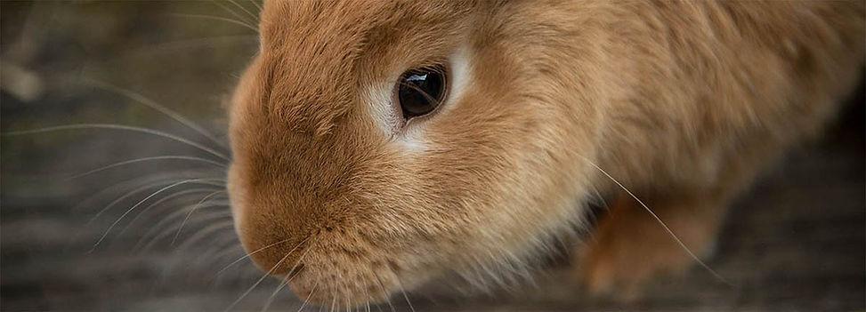 Brown Rabbit.jpg