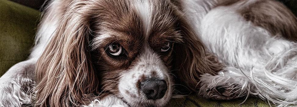 Dog spaniel.jpg