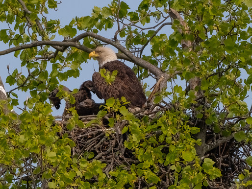 mom & dad watch over their territory 4.28.21