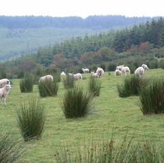 Ifferdale Lamb - on the hoof.jpg