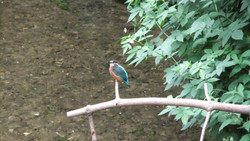 Kingfisher Captured At Overbrook August 2010.JPG