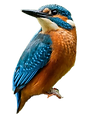 Kingfisher png.png