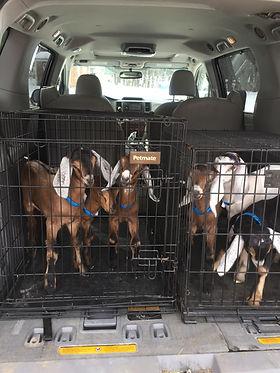 Goats arriving