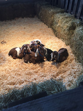 Goats at 1 week old - Fraser Farm Carlisle