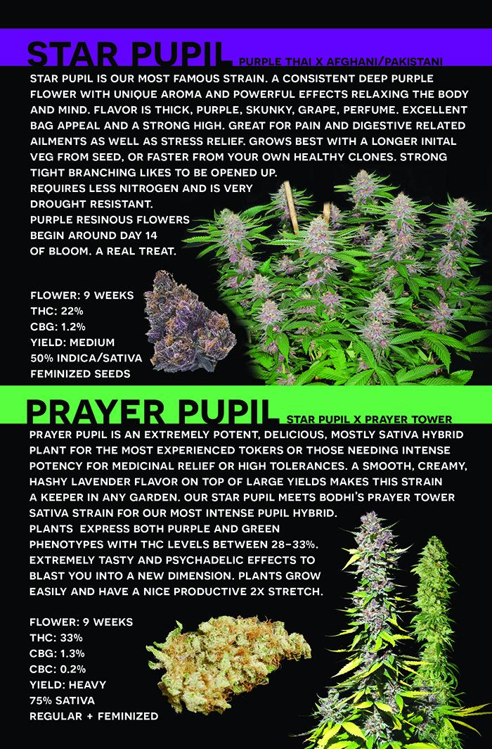 Media   Mass Medical Strains   Star Pupil   Medical Cannabis Info