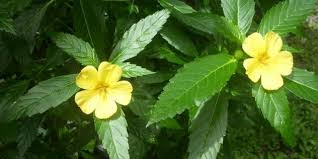 DAMIANA The Central Nervous System Tonic with Benefits for the Reproductive Organs
