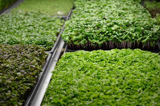 Удивите своих клиентов всегда свежей зеленью! Сезонные скидки!!