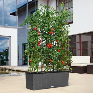 Домашнее помидорное дерево