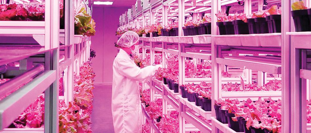 ситиферма экорепка выращивание салатор романо
