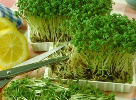 Микрозелень — новинка на рынке здорового питания.