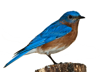 Bluebirds and #amwriting by Rolynn Anderson