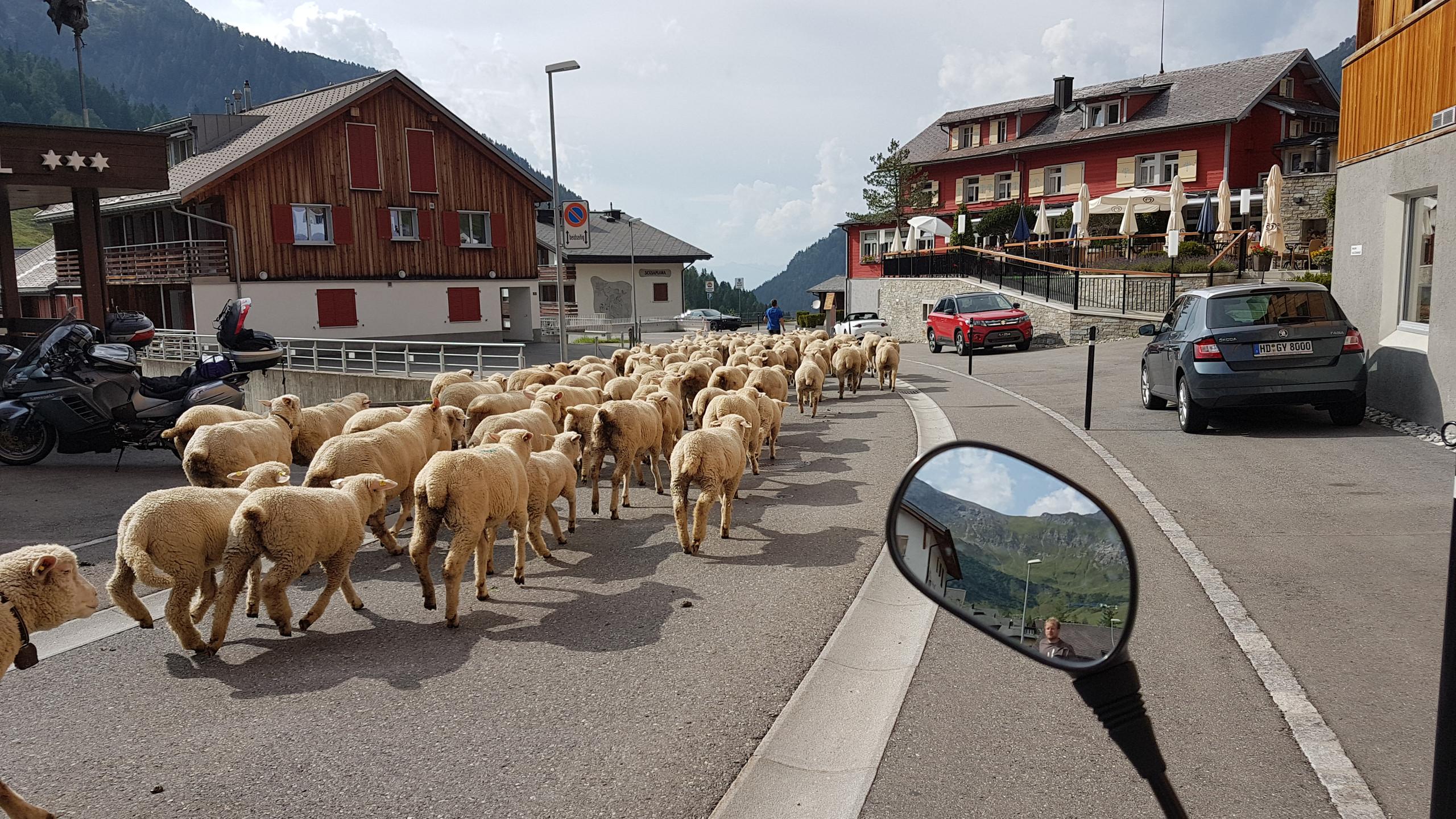 Sheep running down the Steg