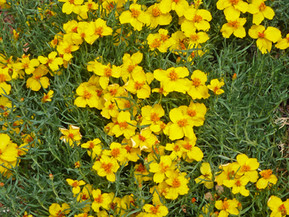Going Native: A Fabulous Prairie Wildflower for Western Xeriscapes