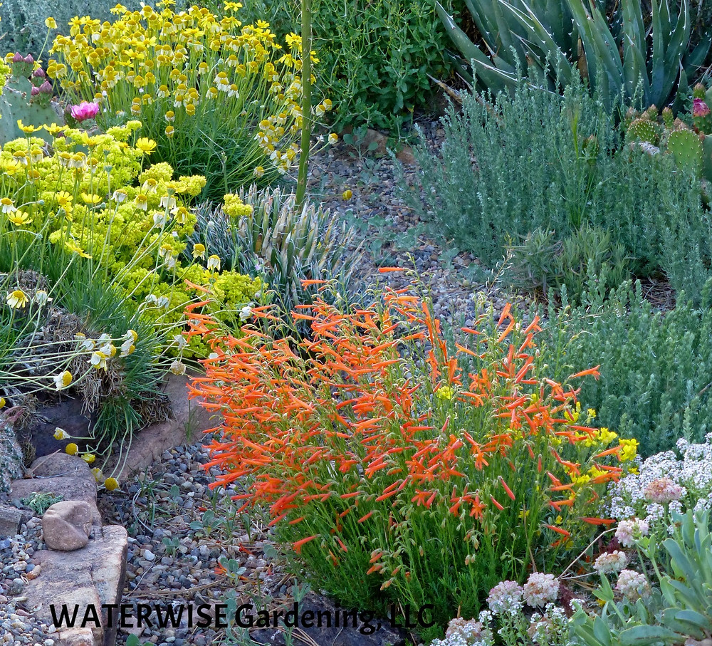 Penstemon pinifolius and Achillea 'Coronation Gold'