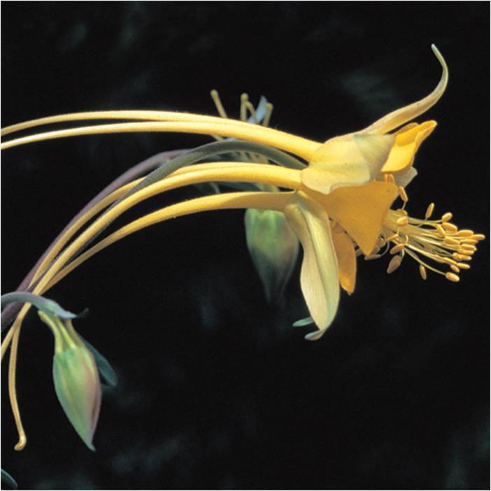 Aquilegia sp. 'Swallowtail'