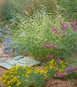 Zinnia grandiflora waterwise