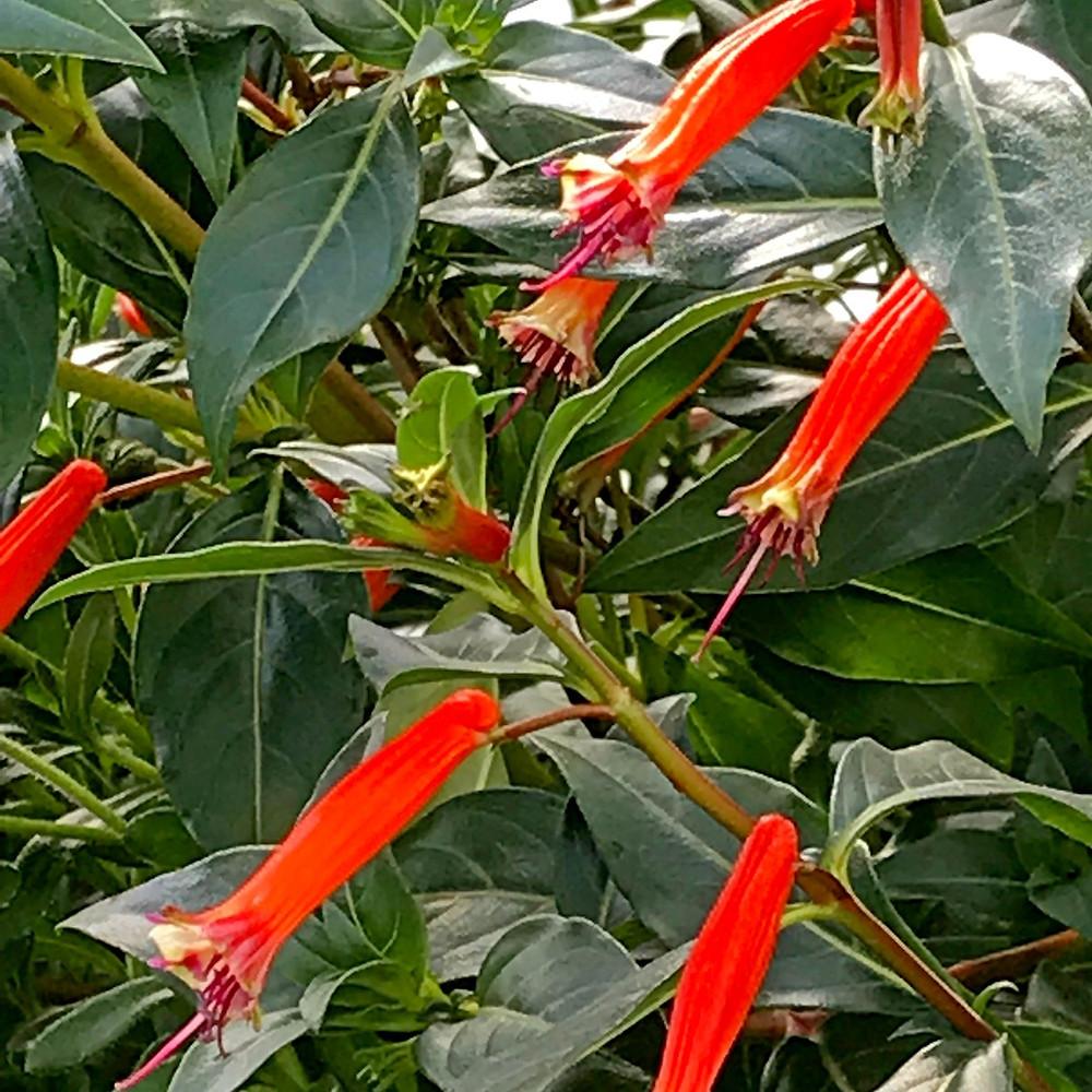 Cuphea x 'David Verity'  (hybrid Cigar Plant)