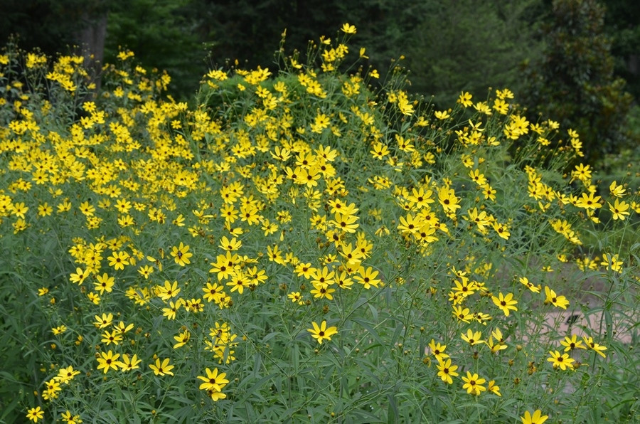 Coreopsis pubescens Gold Standard
