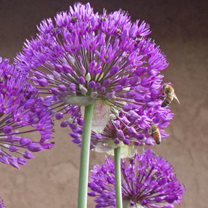 Alllium 'Purple Sensation' with honeybees