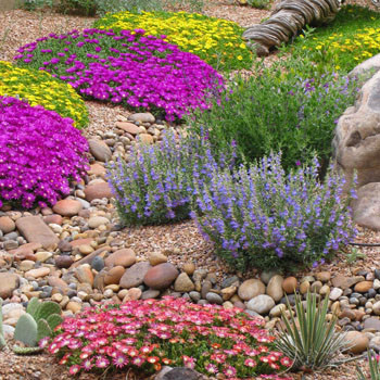 Delosperma varieties: Mountain Red, Blut and nubigenum