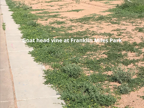 Goat head or Puncture Vine (Tribulus terrestris)-Time to Get Rid of the Them