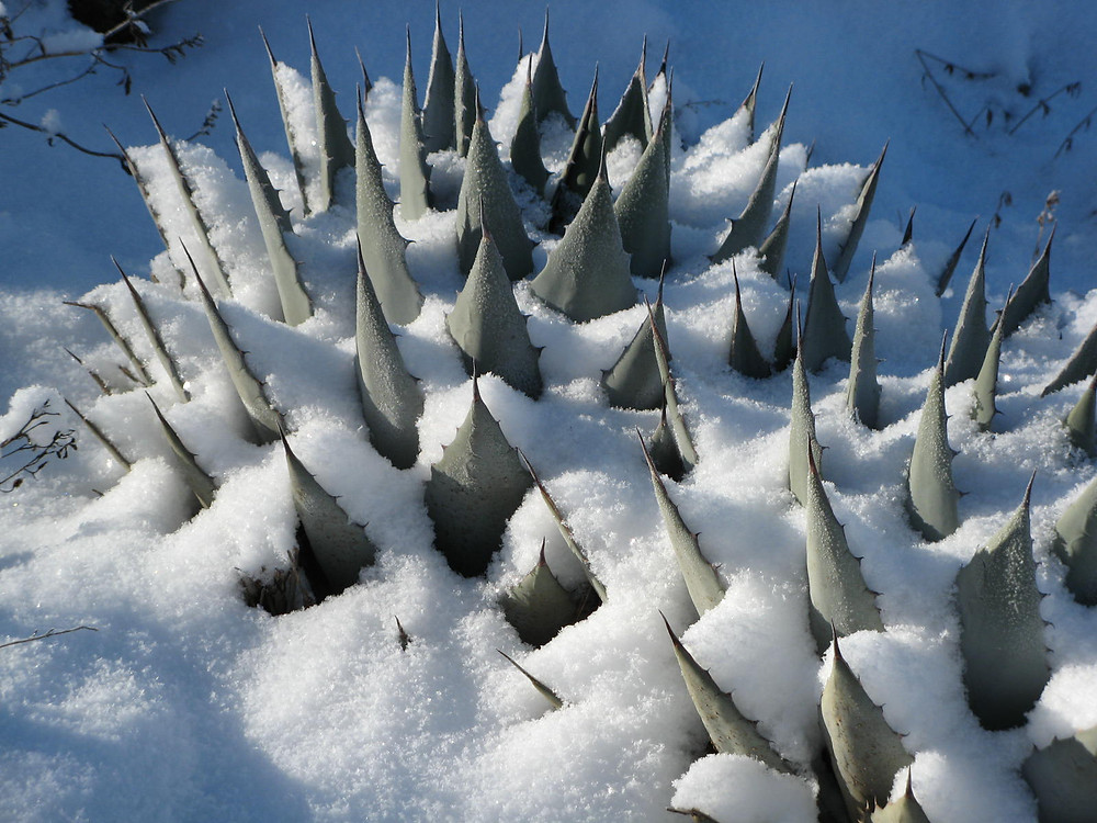 Agave parryi winter-colc hardiness.JPG