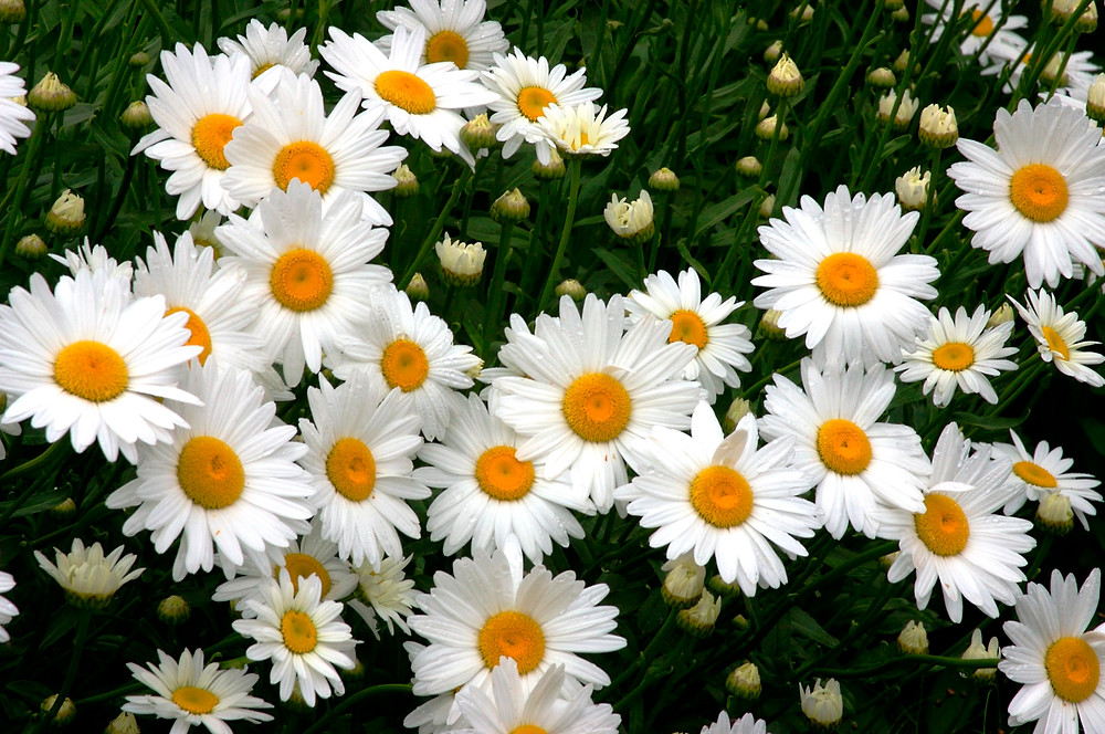 Leucanthemum x superbum 'Becky' (Shasta Daisy)