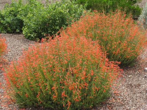Penstemon pinifolius 'Tall Orange Mix'