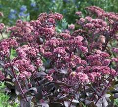 lavandula-angustifolia-munstead-violet