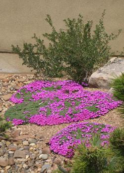 Delosperma sp. 'Lesotho Pink'