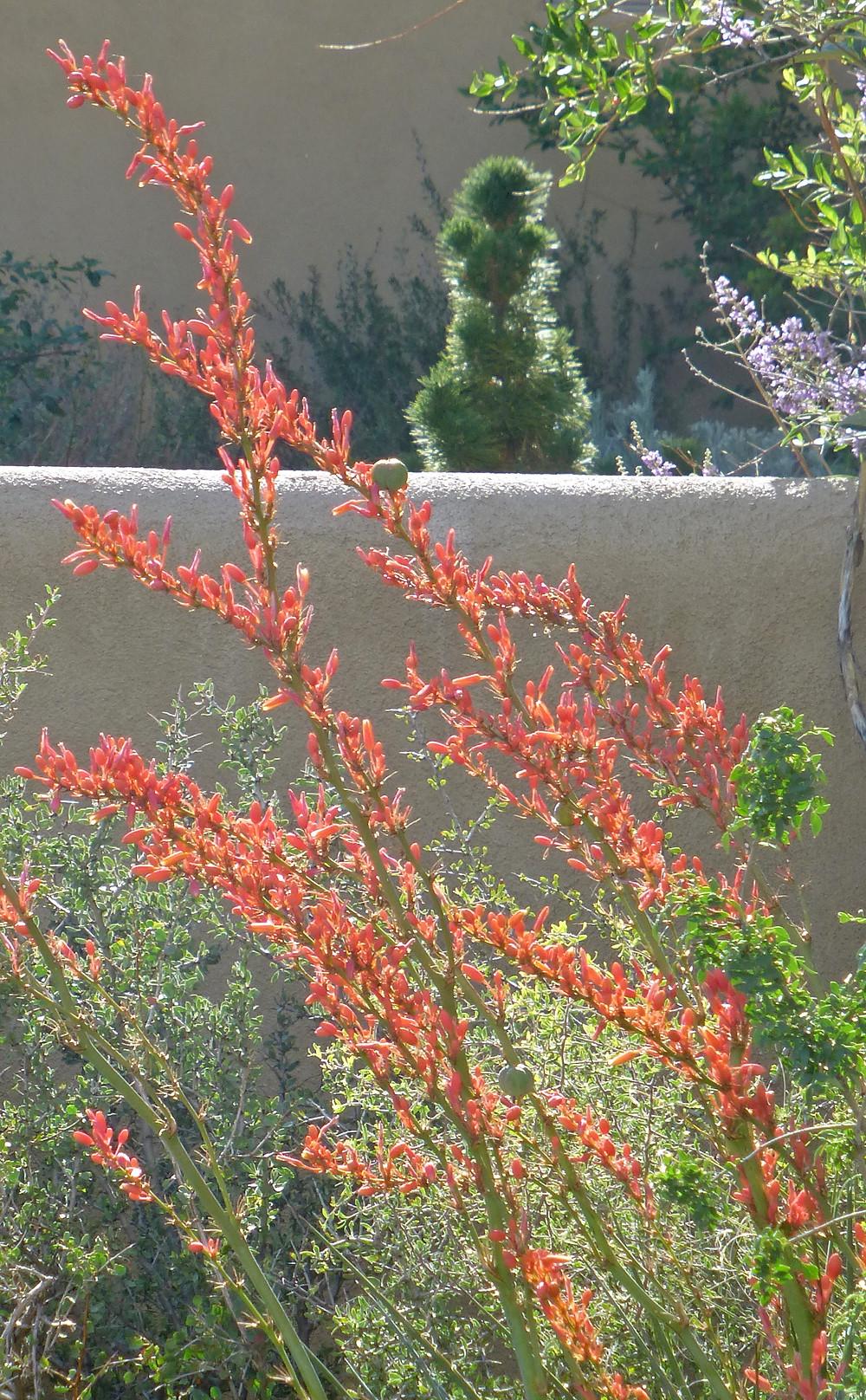 Texas Red Yucca  (Hesperaloe)