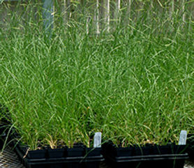 Blonde Ambition Blue Grama Grass Apply to Propagate