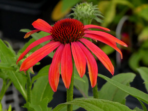 Featured Plants- Week 2 May Plant Sale Events