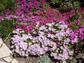 Cold Hardy Ice Plants: South African Jewels for New Mexico Landscapes