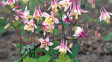 Columbine - Beauties for the Shade