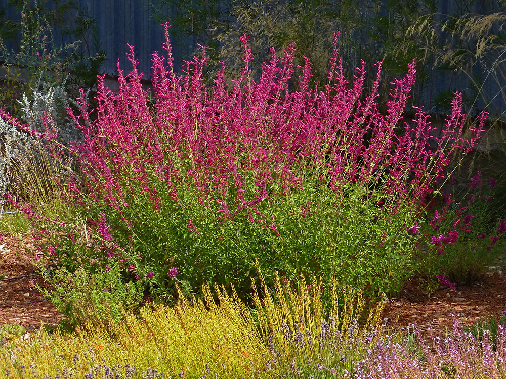 """Agastache """"Red Happiness'"""